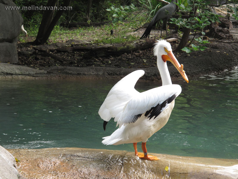 American White Pelican on a rock at the zoo
