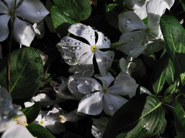 flower, garden nature, rain, water, drops