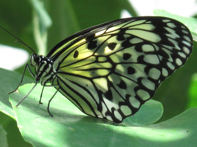 butterfly, Houston, Natural Sciences Museum, bug